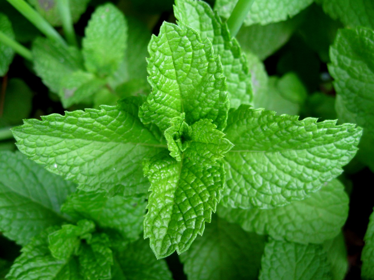 adding fresh Mint leaves for garnish , what about you? I think Mint ...