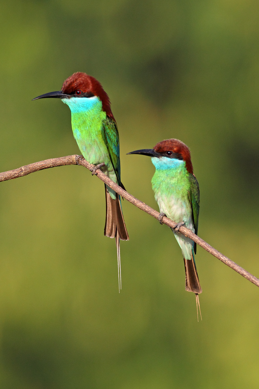 Blue Tailed Bee Eater Migration Blue-throated Bee-eater