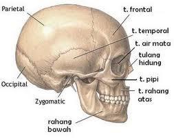 Kerangka Kepala | Kerangka Seluruh Tubuh Manusia dan Penjelasannya