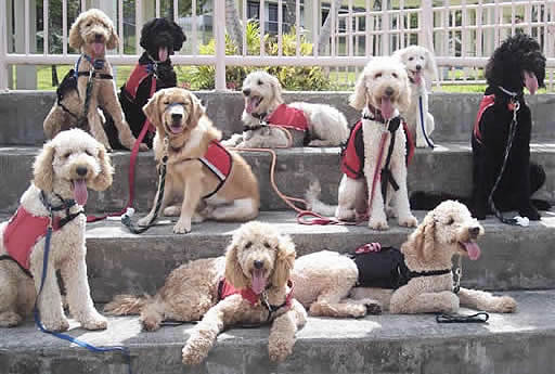 Pictures Of Standard Poodle As Seeing Eye Service Dogs