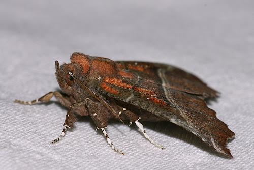 Scoliopteryx libatrix