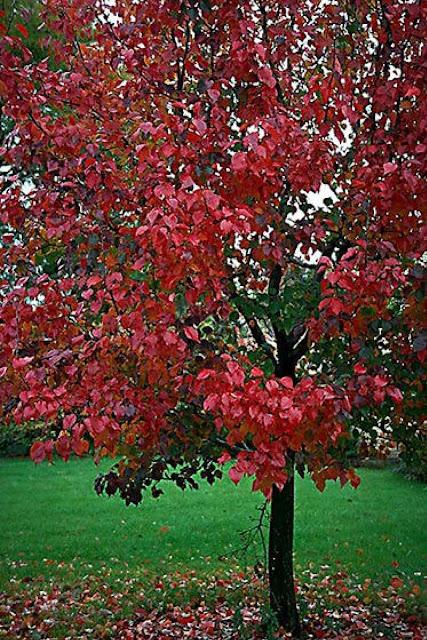 Autumn Blaze Pear3