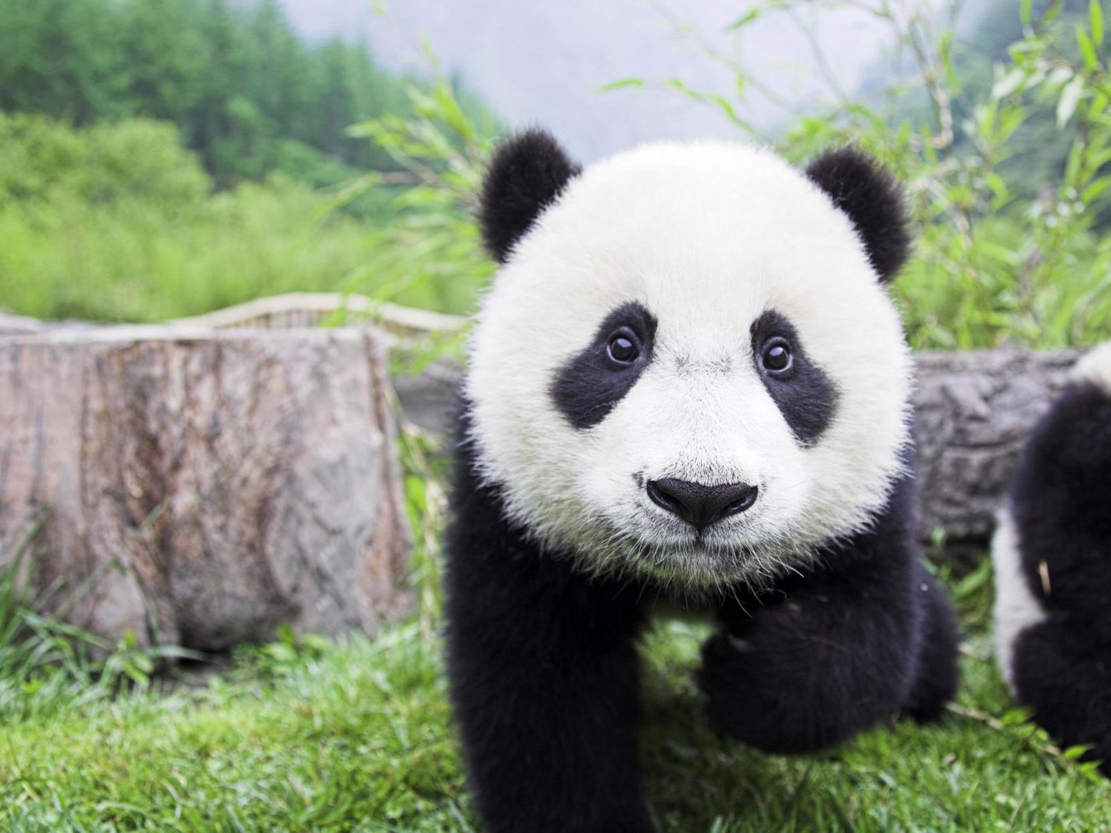http://1.bp.blogspot.com/-3NfUPm_FBao/T_HkfxpH2lI/AAAAAAAAAB8/j2ayXhiiv70/s1600/baby_panda_wallpaper.jpg
