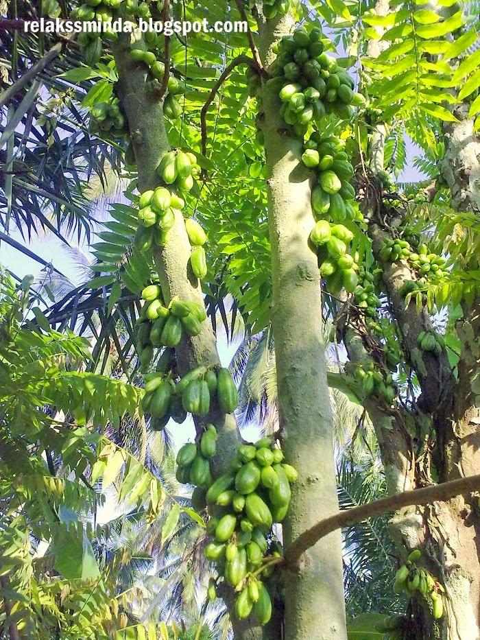 pokok belimbing buluh
