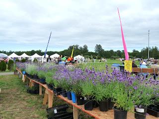 Lavender plants for sale