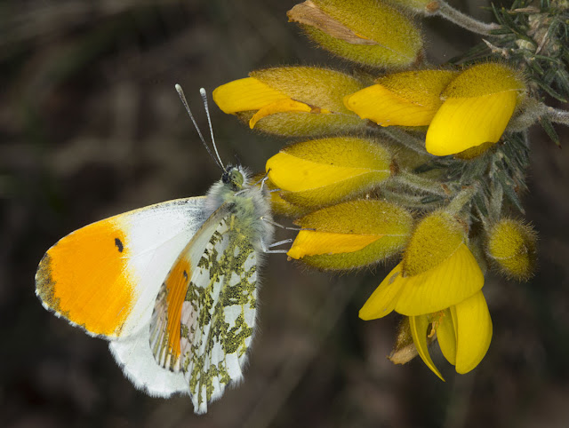 Orange Tip butterfly, Anthocharis cardamines, on Gorse.  Male.  West Wickham Common, 1 April 2012.