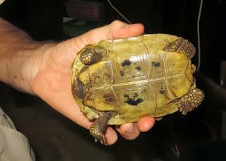 Elongated Tortoise (Indotestudo elongata)