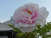 長岡京市にあるボタンの寺としても有名な真言宗・大慈山乙訓寺。