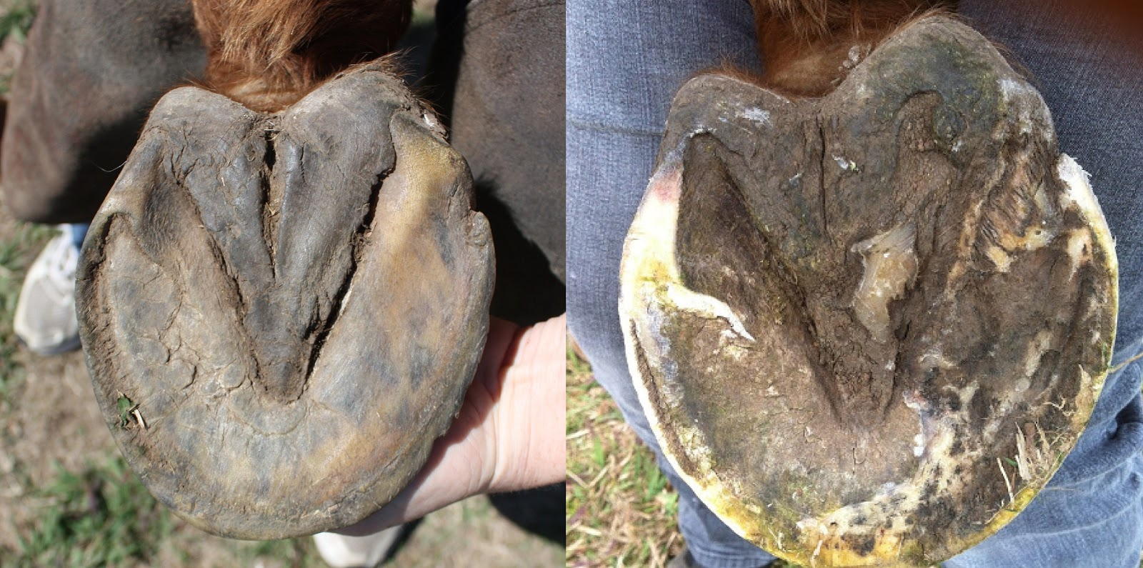 The Glorious Hoof   Update On George  Abscess Hole