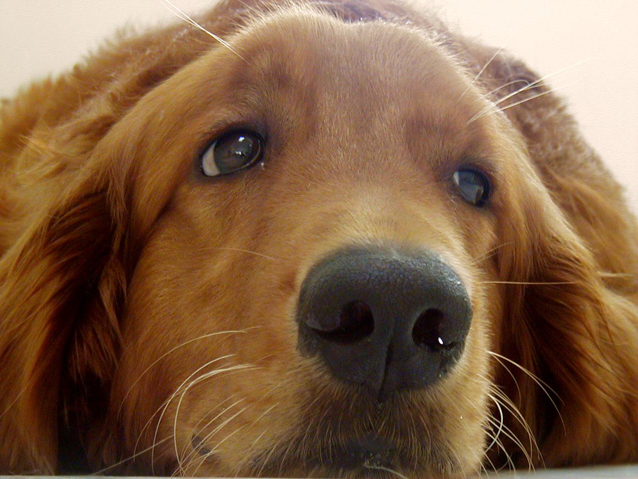 Can Dogs Get Human Flu Virus