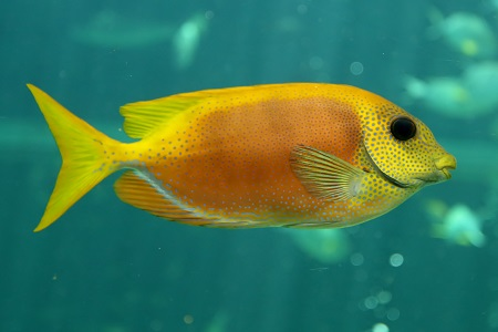Ocellated orange spinefoot