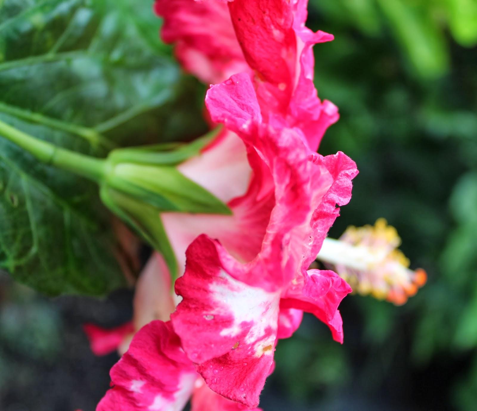 florez nursery hibiscus rosa sinensis 39 elandem 39. Black Bedroom Furniture Sets. Home Design Ideas