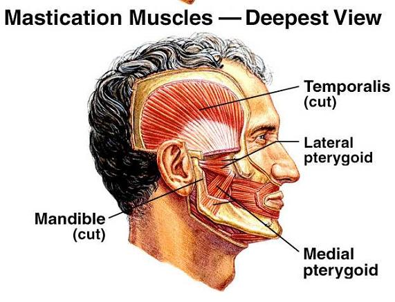 Muscles Associated With Movement Of Jaw