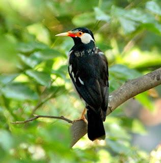 Burung Jalak Beo