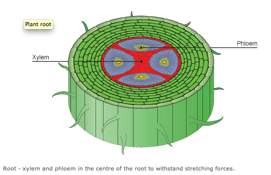 In The Root Of Xylem And Phloem Diagram Complete Wiring Diagrams