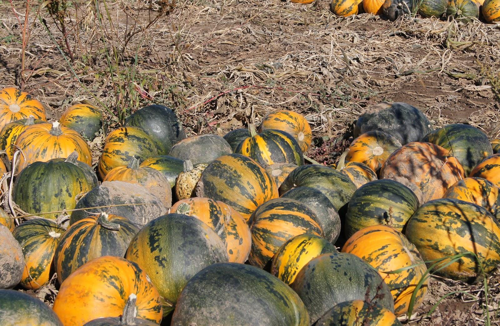 Pumpkin Naked Bear Hybrid (105 Days) - T&T Seeds