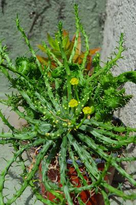 Crasas, formas extrañas: Euphorbia pugniforme cristata.