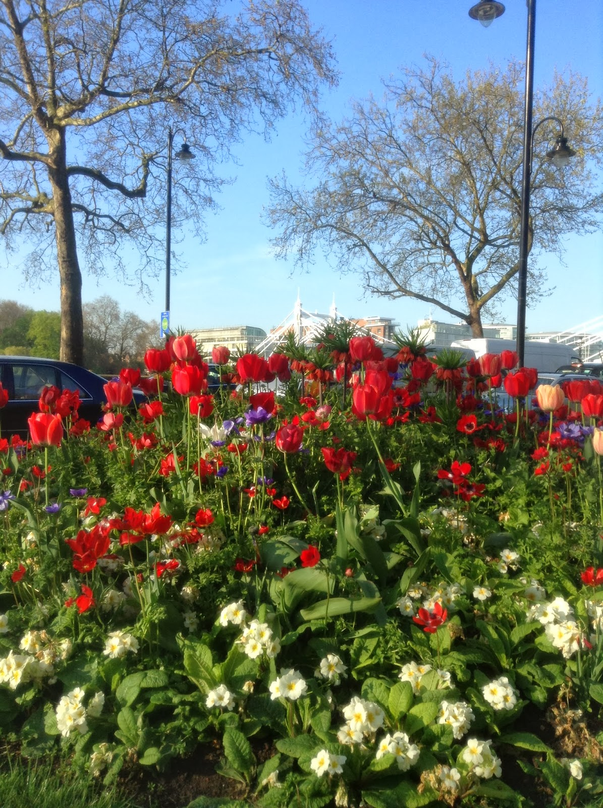 Tulips , Anemones and Primroses at Chelsea Embankment, Chelsea Bridge, Photo by Mercurelli