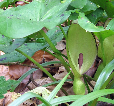 Flower of Arum maculatum, cuckoo-pint, in High Elms Country Park.  14 April 2011.