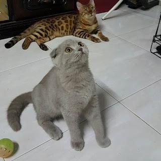 Jual Kucing Bengal, kucing persia hamil,  kucing persia hamil berapa bulan,  kucing persia himalaya dijual,  kucing persia himalayan,  kucing persia hidung pesek,  kucing persia hamil berapa lama,  kucing persia import,  kucing persia imut,  kucing persia indukan,  image kucing persia,  harga kucing persia di indonesia,  jual kucing persia import,  foto kucing persia imut,  harga kucing persia indukan,  kucing persia lucu dan imut,  jual kucing persia hari ini,  kucing persia jantan,  kucing persia jual,  kucing persia jogja,  kucing persia jakarta,  kucing persia jual jakarta,  kucing persia jember,  kucing persia juara,  kucing persia jakarta murah,  kucing persia jatim,  kucing persia jatinegara,  kucing persia kaskus,  kucing persia kawin,  kucing persia kecil,  kucing persia kitten,
