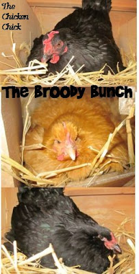 The Broody Bunch. The Chicken Chick