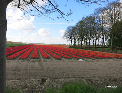 agricultural field of tulips, the Netherlands