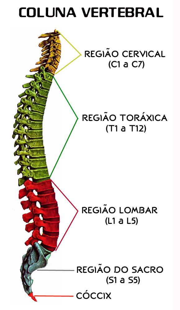 Increíble Sexta Vértebras Adorno - Anatomía de Las Imágenesdel ...