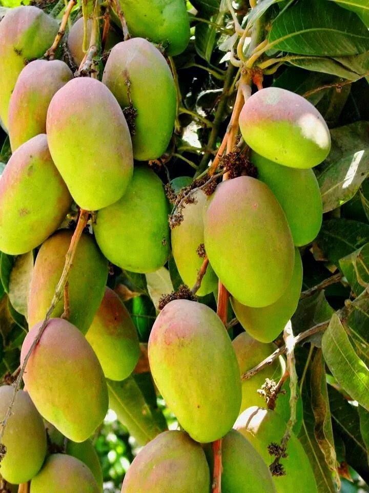 Images of Mango Plant Mango Plant Backed by