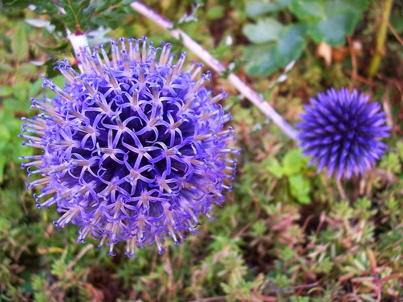 Spiky Ball Flower to The Spiky Balls