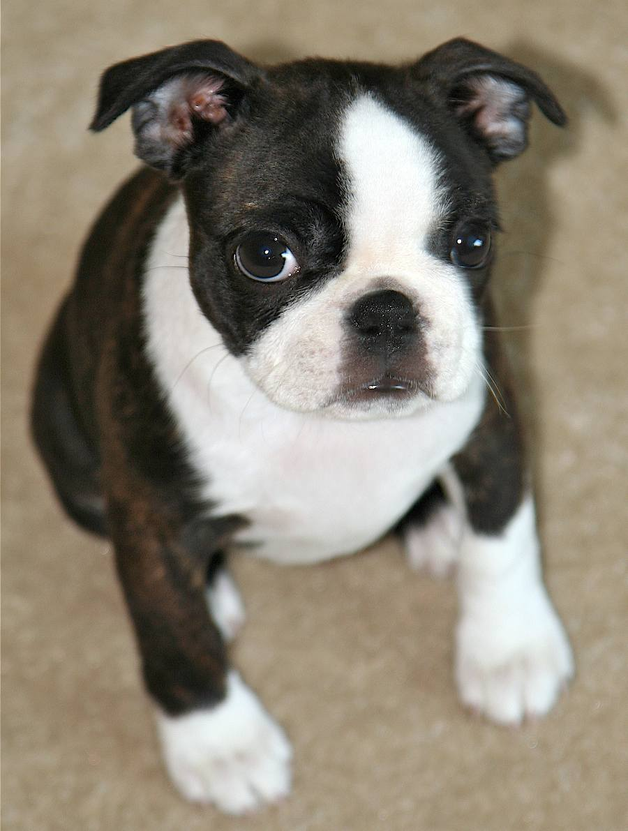Boston Terrier Puppies Pictures | Puppies Dog Breed Information Image ...