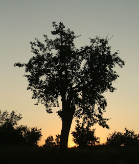 Beautiful silhouette of my favourite tree