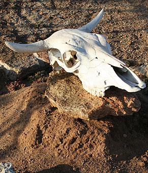 cow skull and desert - photo #7