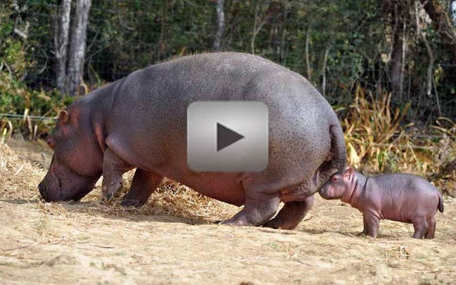 999,999,999 People: The Hippo farted so hard that scared ...