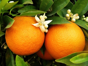 http://fr.wikipedia.org/wiki/Orange_%28fruit%29