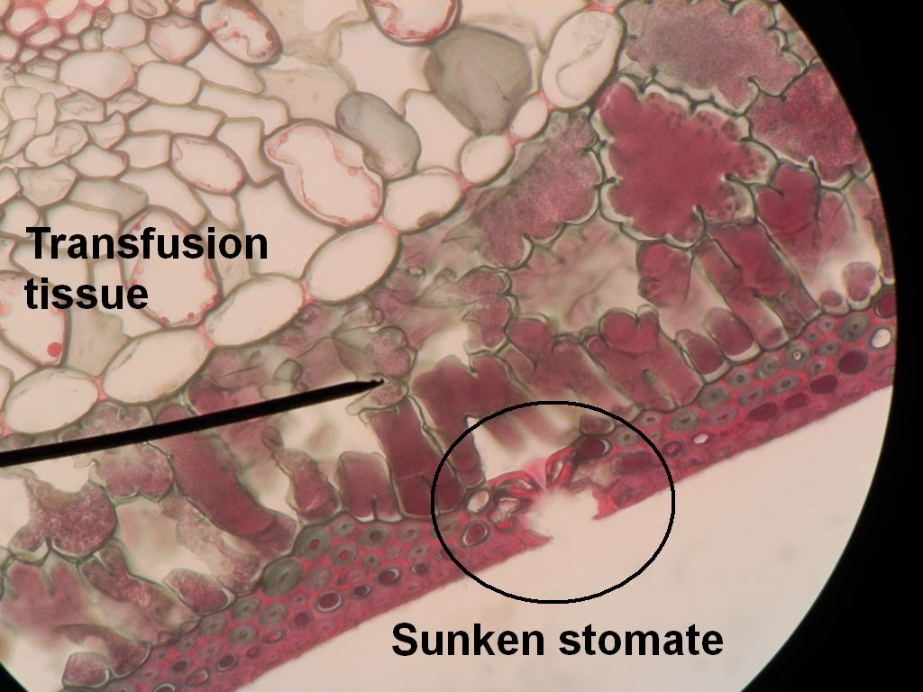 sclerenchyma tissue Biology tissues - learn biology in the sclerenchyma tissue makes the plant hard and stiff for example, the husk of a coconut is made up of sclerenchymatous tissue.