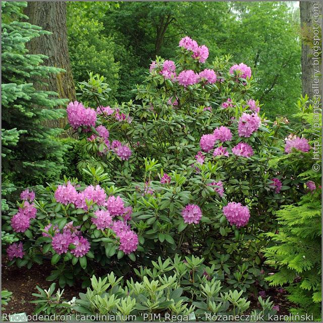 Rhododendron carolinianum 'PJM Regal' habit - Różanecznik karoliński  'PJM Regal'  pokrój