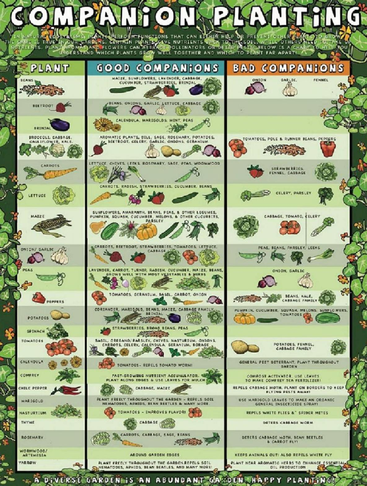 Superb Gardening Companion Planting Chart. Chart Courtesy Of: RealFarmacy.com