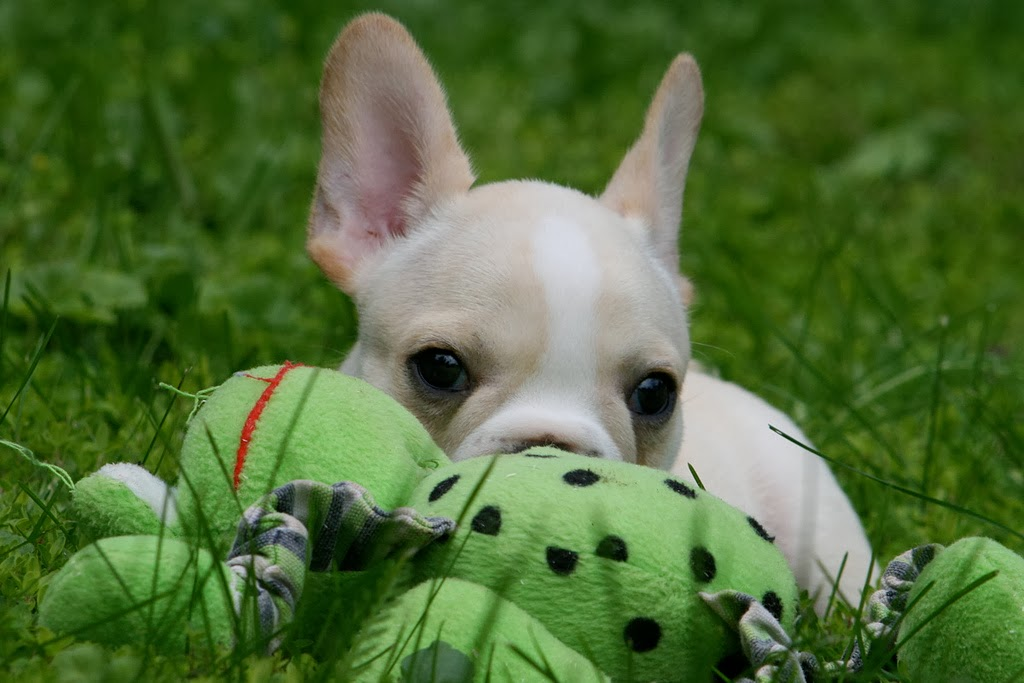 Cutest French Bulldog Puppy wallpapers