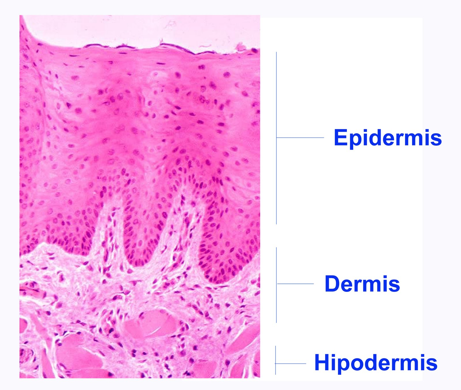 Anatomía y fisiología humana I: Estructura general de la piel
