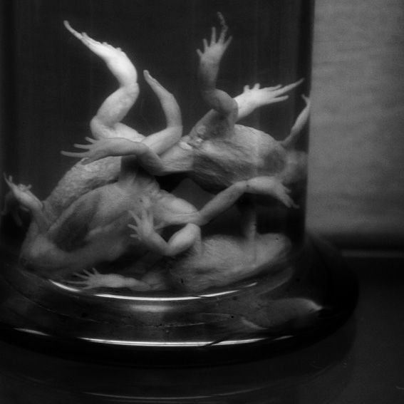 photo de grenouilles dans un bocal de formol, Frogs in a jar of formalin, © dominique houcmant