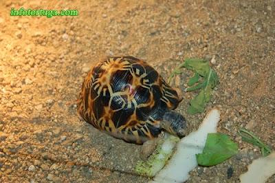 Astrochelys radiata comiendo