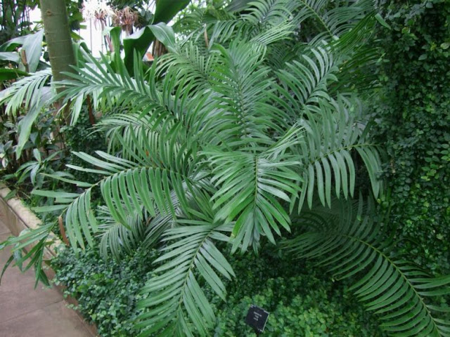 Cycad at Palm House, Kew Gardens London