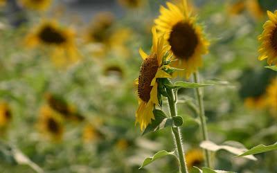 Beautiful Sunflower Widescreen Wallpaper 5