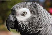 Grey Parrots HD