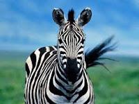 Когда жизнь, как зебра