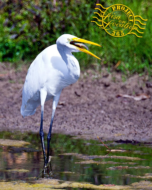 365 photo project, Lisa on Location photography, New Braunfels, Texas. Great egret