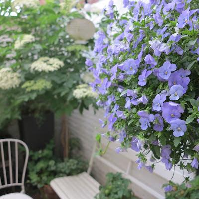 ByHaafner, container garden, blossoming elderflower, hanging basket
