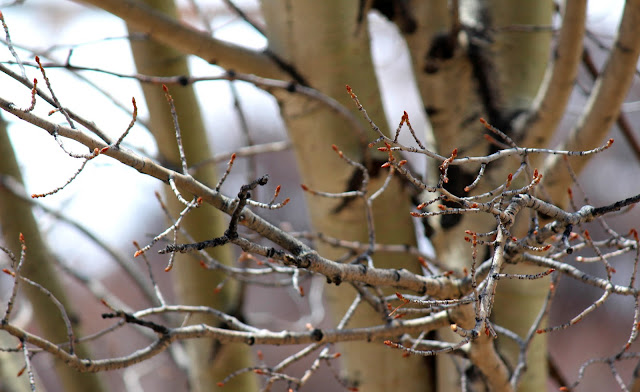 aspen tree budding
