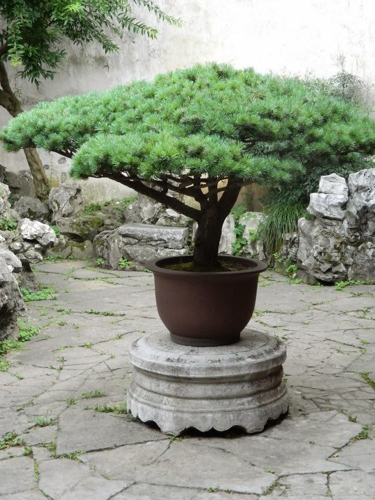 Lingering Garden Suzhou bonsai by garden muses-Toronto gardening blog