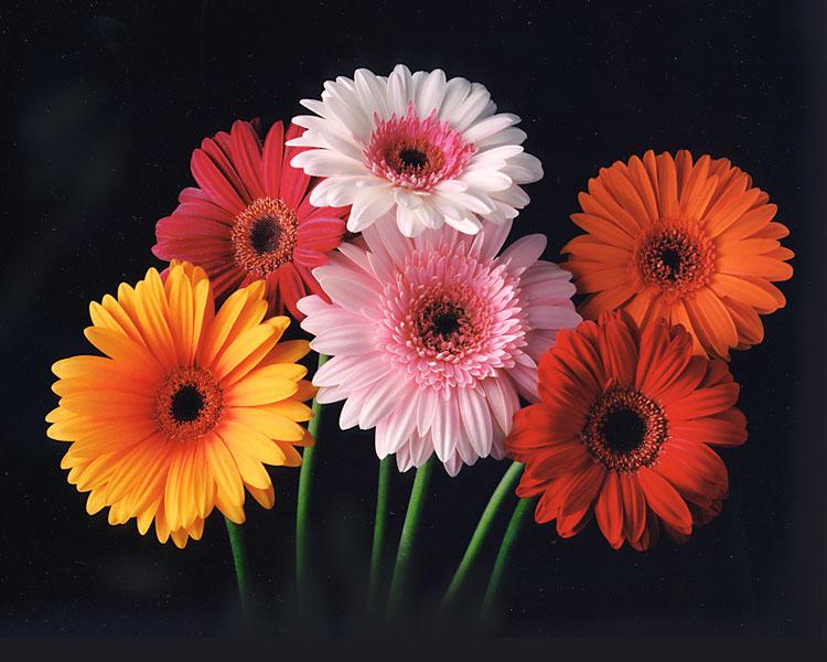 Gerber Daisy Tattoo. gerbera daisy dawning love